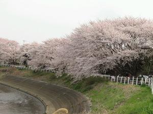 090405_sakura_001.jpg