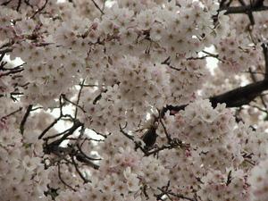 090405_sakura_002.jpg
