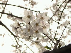 090405_sakura_004.jpg