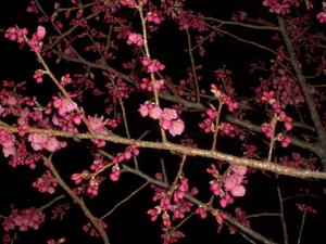100305_kanhizakura_001.jpg