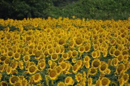 2011.08.14_himawari_002.jpg