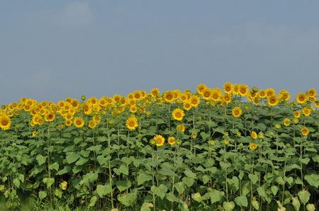2011.08.14_himawari_005.jpg