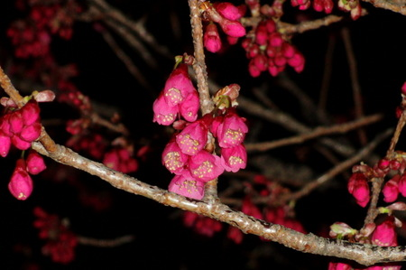 2012.03.25_kanhizakura_001.jpg