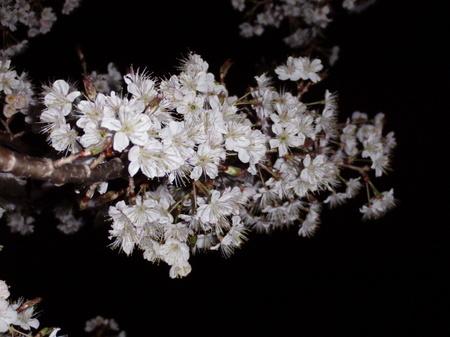 2012.03.25_satounishiki_002.jpg