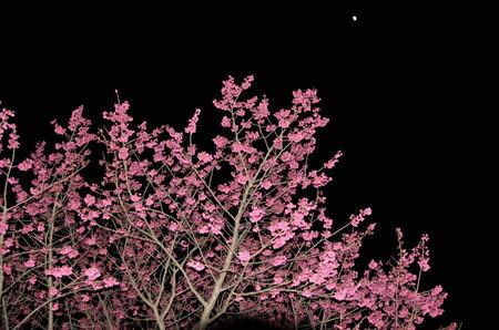2012.04.01_kanhizakura_001.jpg