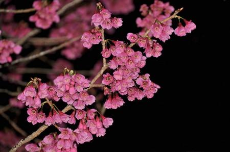 2012.04.01_kanhizakura_002.jpg