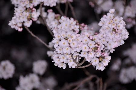 2012.04.10_sakura_003.jpg