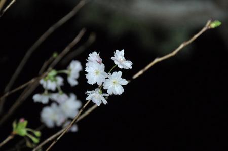 2012.10.21_juugatsuzakura_002.jpg