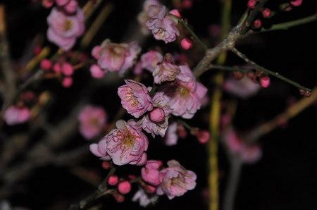 2013.02.22_yae_ume_001.jpg