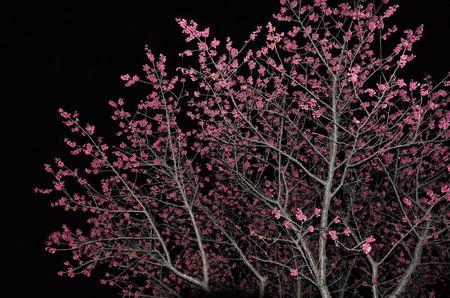 2013.03.12_kanhizakura_001.jpg