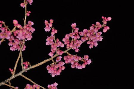 2013.03.12_kanhizakura_002.jpg