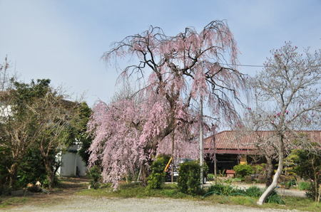 2013.03.23_shidarezakura_001.jpg
