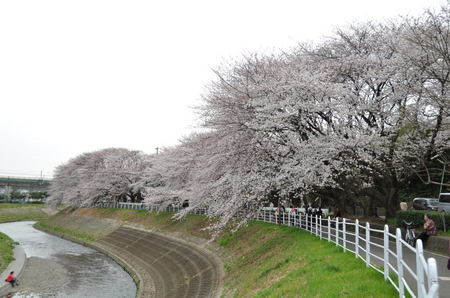 2013.03.23_someiyoshino_002.jpg