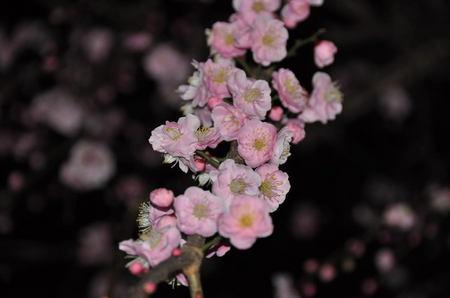 2014.02.28_shidare_ume_002.jpg