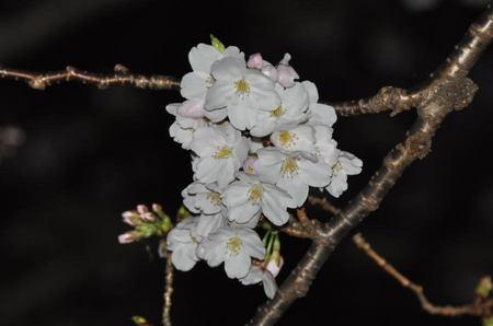 2014.03.29_sakura_003.jpg