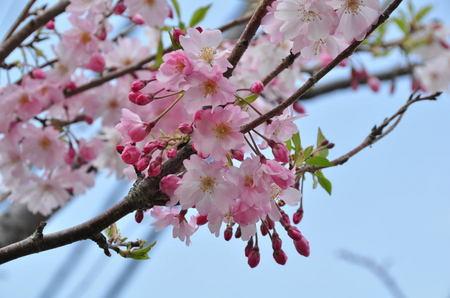 2014.04.09_sakura_003.jpg